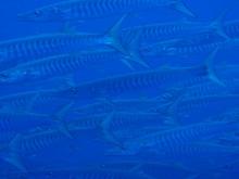 タオ島 ダイビング セイルロック シェペロンバラクーダ