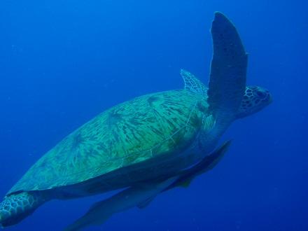 タオ島 ダイビング アオウミガメ