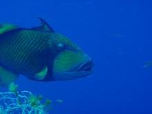 タイ タオ島 ダイビング ゴマモンガラ