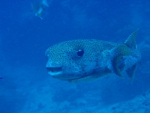 タイ タオ島 ダイビング ネズミフグ