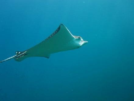 タオ島 ダイビング マダラトビエイ