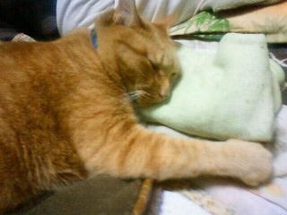 枕をして寝る猫