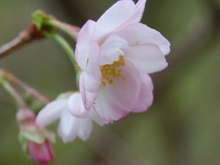 2012.10.14十月桜 024