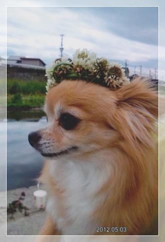 カリンちゃん花冠