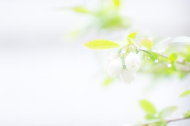 庭のブルーペリー