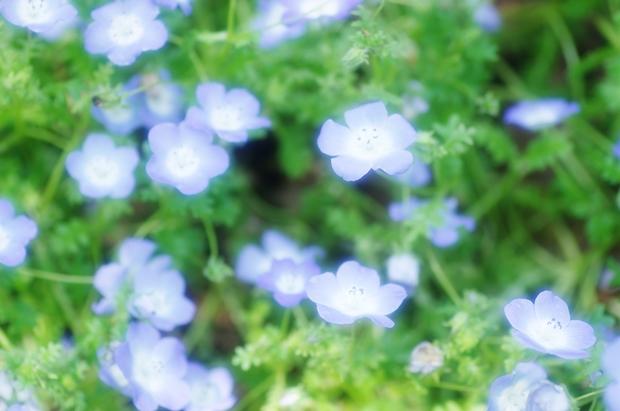 青い花好き