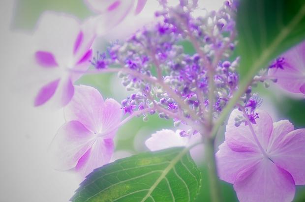 紫陽花好きな人、らぶぅ♪