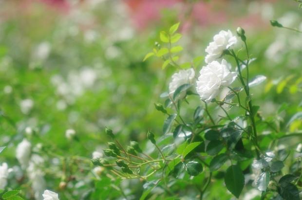 白きバラ誰の面影か…