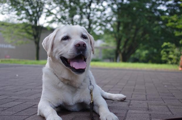 どこまでも天使なうちの犬