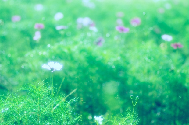 公園の花壇コスモスに変わったね。