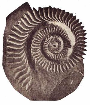 ヘリコ化石
