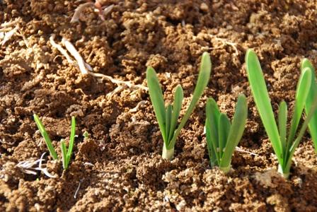 水仙 スノードロップの芽