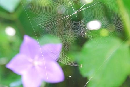 クモの巣と桔梗
