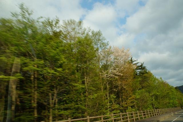 5月12日、青木ヶ原樹海の桜 ボンゴの車窓より