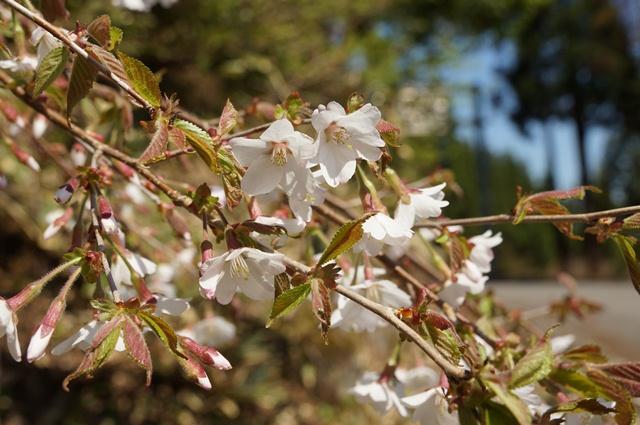 5月19日、山桜を見る