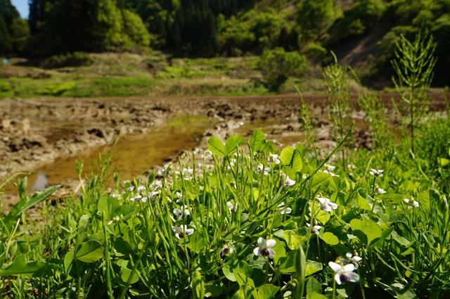 八箇の山奥の田圃と花