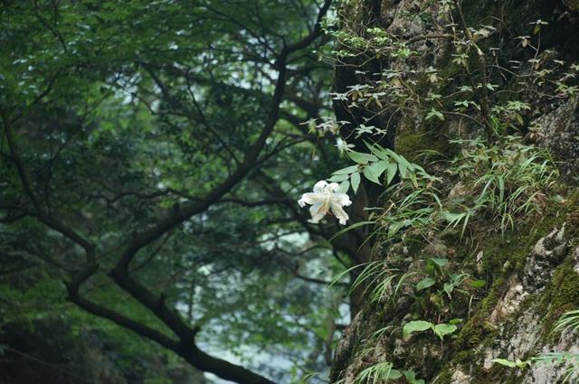 神戸岩で見つけた山百合