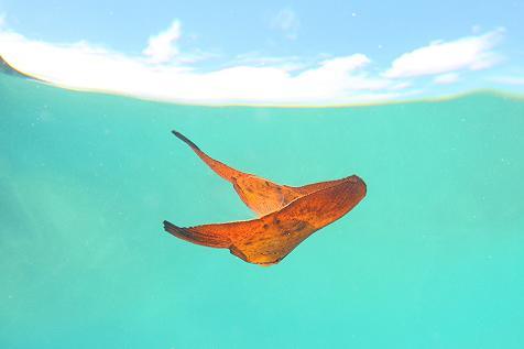 ナンヨウツバメ幼魚