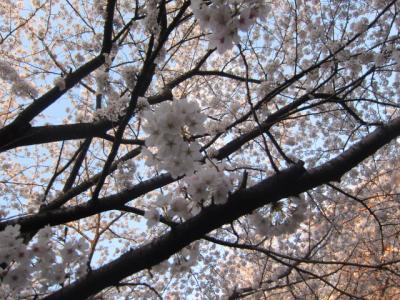 片平川の桜