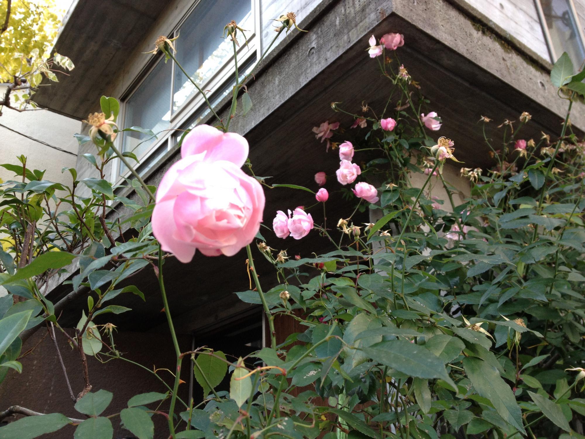 正月なのに薔薇