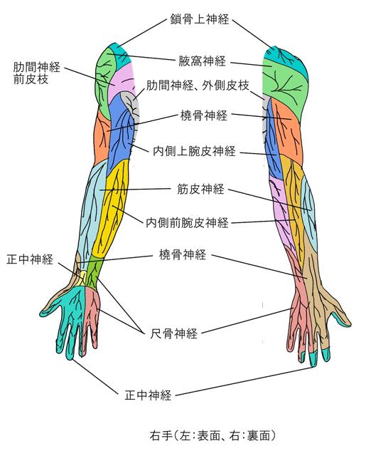 brachial-46.jpg