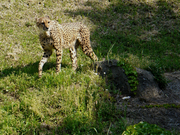 130505_cheetah1.jpg