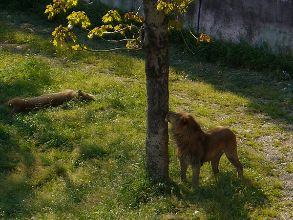 130505_lion1.jpg