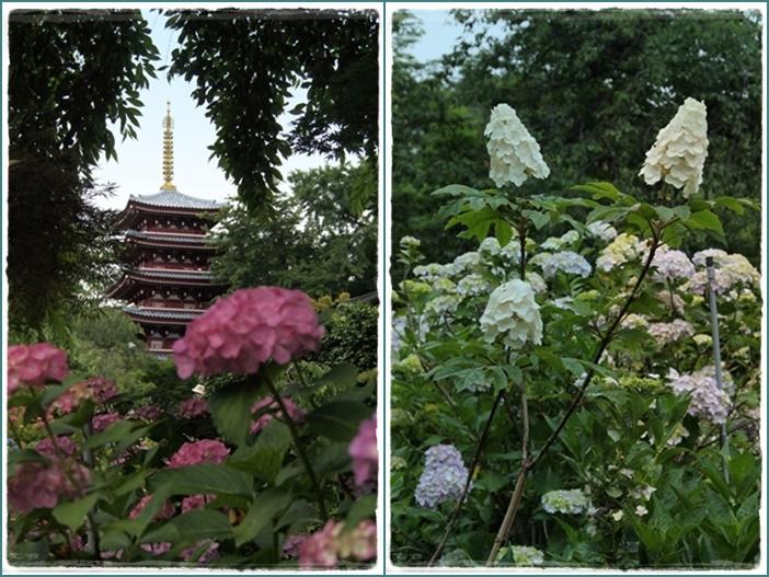 本土寺紫陽花1