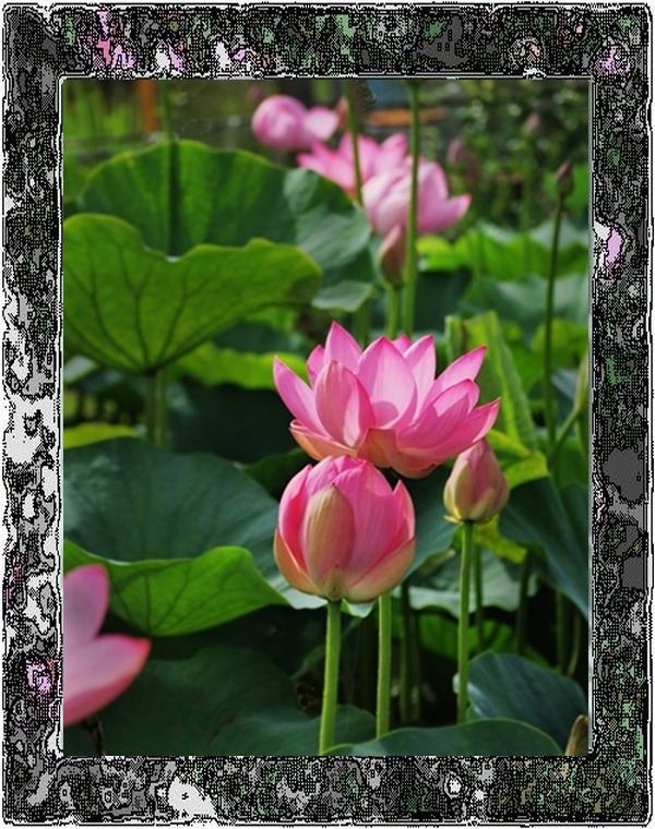 ○125薔薇古代蓮3