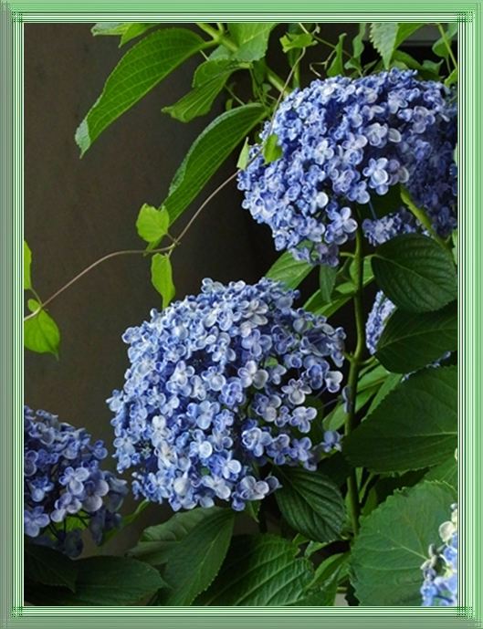 ○58みどりガラス細い渦紫陽花
