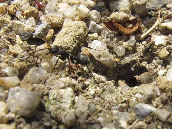 アリの巣のアリ