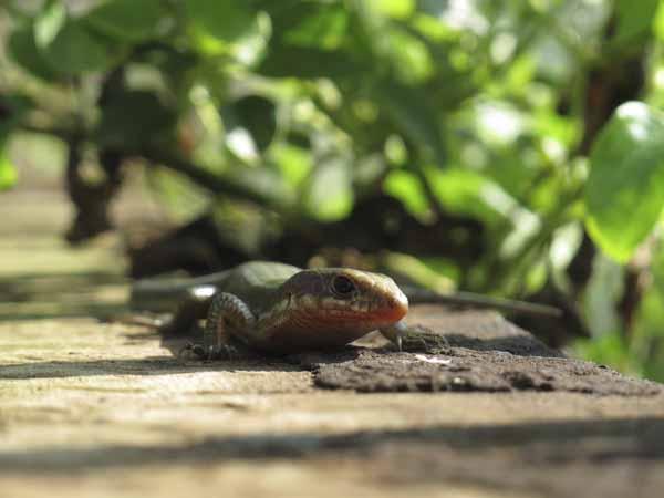 花壇の蜥蜴
