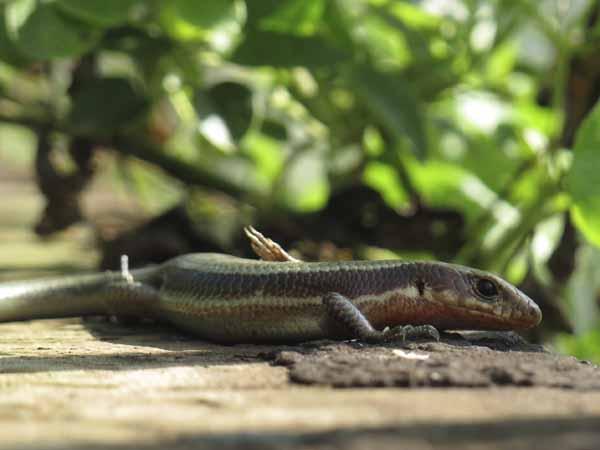 花壇の蜥蜴2
