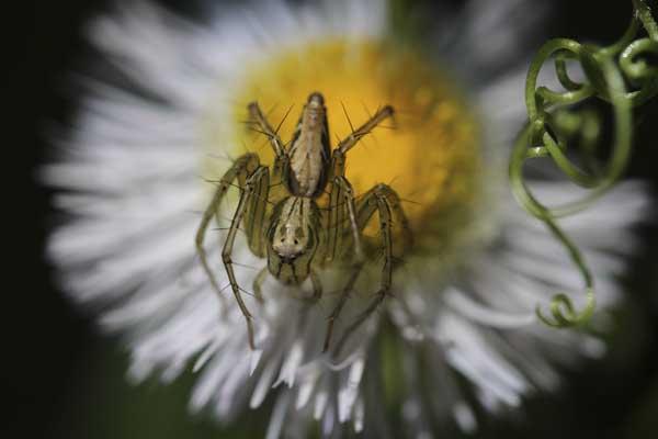 ハルジオンにササグモ