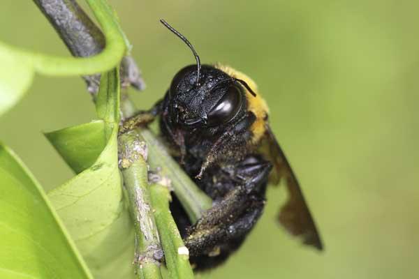 ミカンにクマバチ