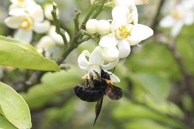 ミカンにクマバチ2