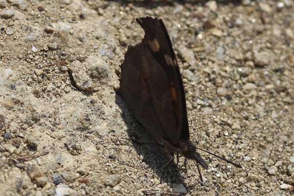 地面のテングチョウ