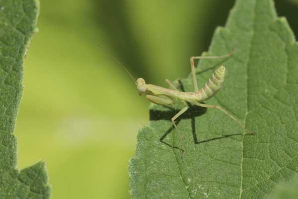 カマキリの幼虫01
