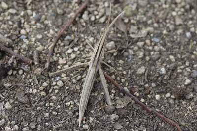 ショウリョウ幼虫02