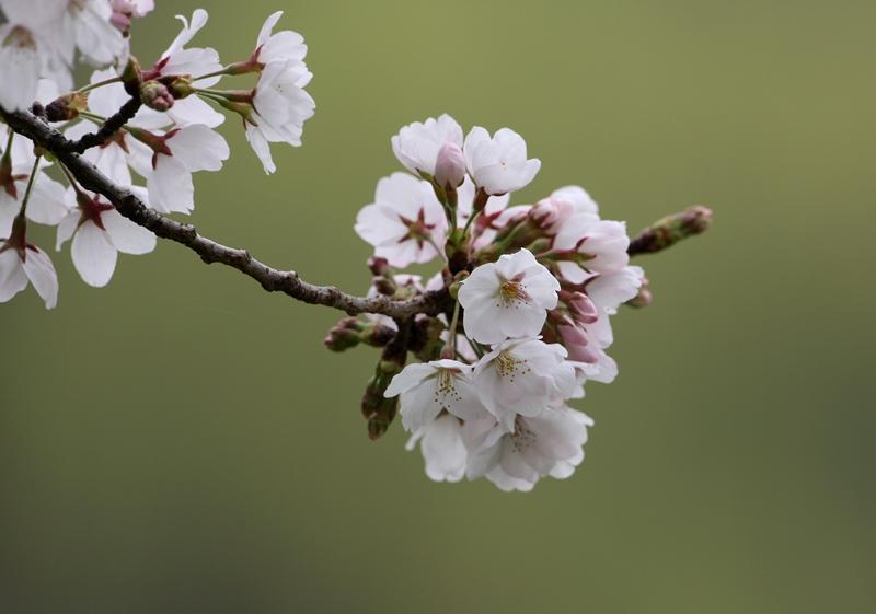 桜1130320
