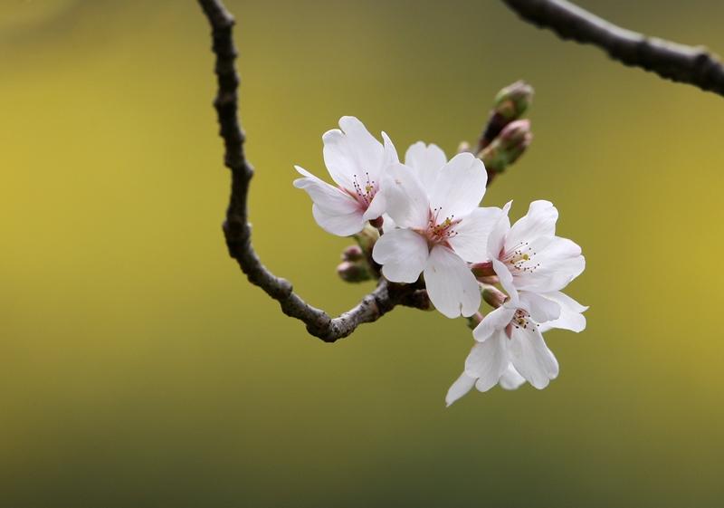 桜2130320