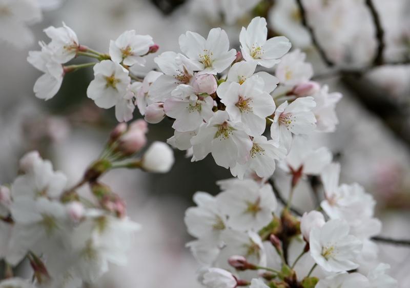 桜3130320