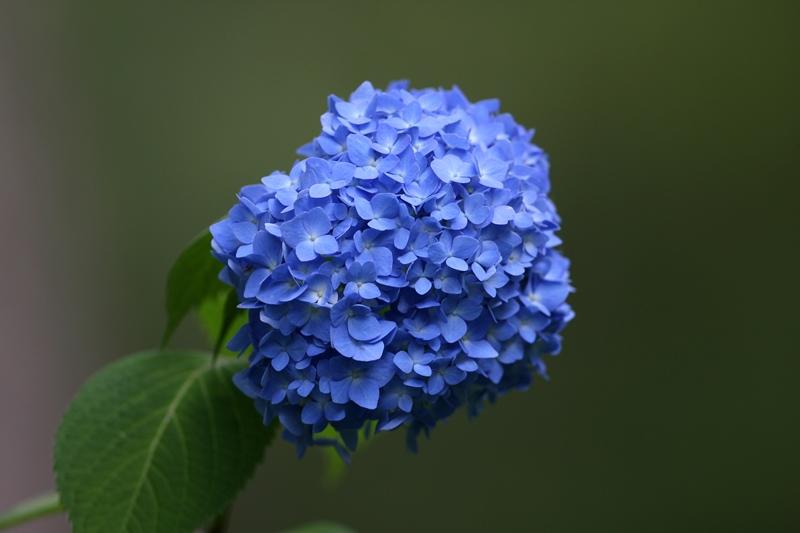 紫陽花1130601