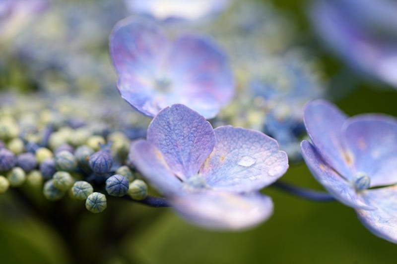 紫陽花1130616