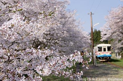 桜満開の谷汲口駅に入線するレールバス