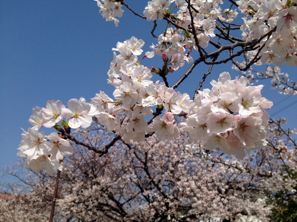 桜3-30-2013