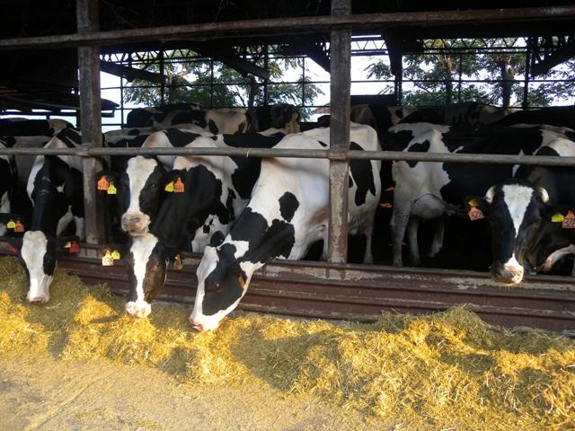 牛の食欲1