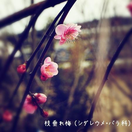 枝垂れ梅(シダレウメ)