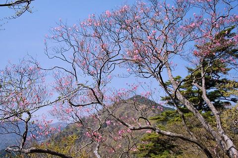 アカヤシオと岩岳山