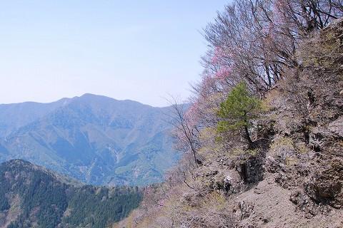 斜面のアカヤシオ